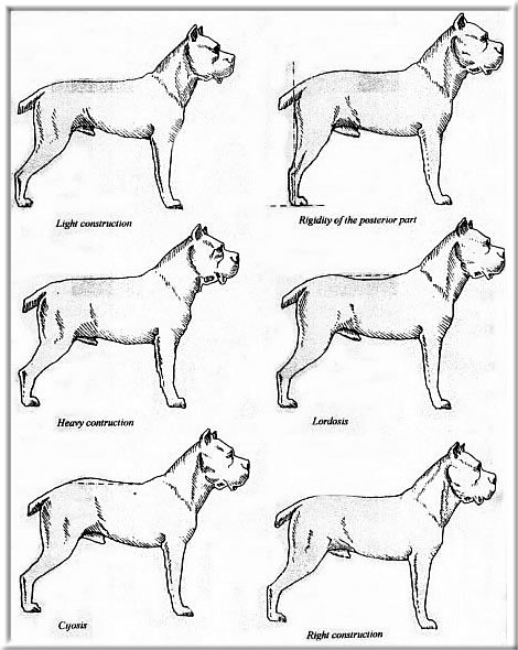 Breed Standard Cane Corso Collation