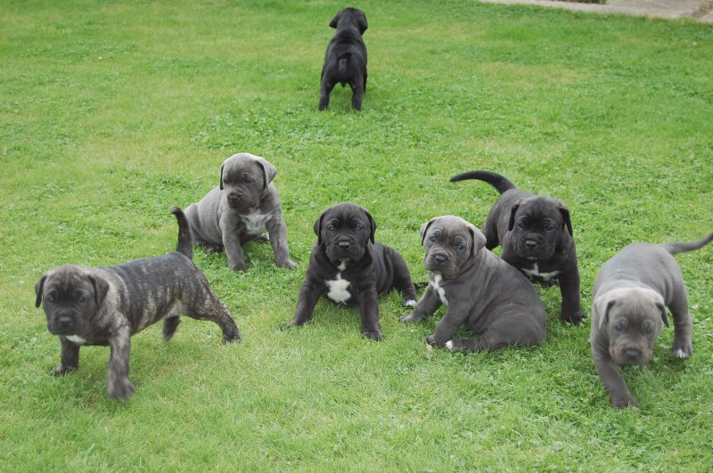 Italian Dog Names For Cane Corso